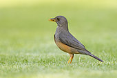 Olive Thrush (Turdus olivaceus), side view of an adult standing on the ground, Western Cape, South Africa