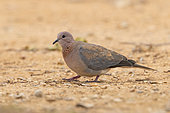 Laughing Dove (Streptopelia senegalensis), side view of an adult standing on the ground, Mpumalanga, South Africa