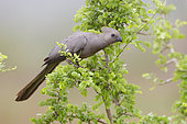 Greay Go-away-bird (Corythaixoides concolor bechuanae), side view of an adult perched on a branch, Mpumalanga, South Africa