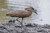 Hamerkop (Scopus umbretta), side view of an individual walking on the mud, Mpumalanga, South Africa