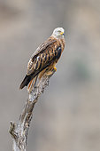 Red Kite (Milvus milvus), adult perched on a dead tree, Basilicata, Italy