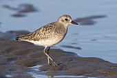 Grey Plover (Pluvialis squatarola), side view of a juvenile standing on the sand, Campania, Italy