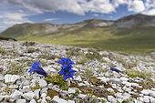 Trumpet Gentian (Gentiana dinarica), flowers in Alpine habitat, Abruzzo, Italy
