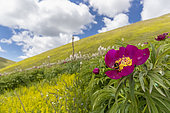 Common Peony (Paeonia officinalis), flower on the foreground with a mountain slope and clouds on the background, Abruzzo, Italy