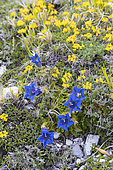 Trumpet Gentian (Gentiana dinarica), close-up of flowers on the ground, Abruzzo, Italy