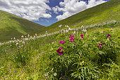 Pivoine commune (Paeonia officinalis) en fleur sur un versant de montagne et nuages, Abruzzes, Italie