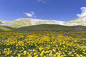 Mountain Landscape, mountain slopes covered by Ranunculus flowers, Abruzzo, Italy
