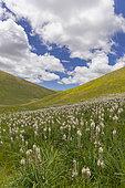 Asphodel (Asphodelus macrocarpus), plants on a mountain slope, Abruzzo, Italy