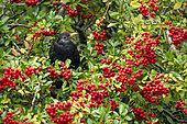 Blackbird (Turdus merula) perched amongst Firethorn berries (Pyracantha sp), Engalnd