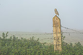 Little owl (Athena noctua) perched on a post in the mist, England