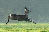 Roe deer (Capreolus capreolus) running in a meadow, England