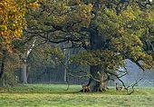 Roe deer (Capreolus capreolus) standing in a meadow at sunrise, England