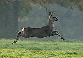 Roe deer (Capreolus capreolus) running in a meadow at sunrise, England