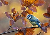 Blue tit (Cyanistes caeruleus) perched amongst autumn leaves, England