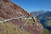 Racine de Pin à crochets sur grès rouge du Permo-Trias. Au loin,vue sur le massif du Sesques : 2606m. Vallée d'Aspe, Parc National des Pyrénées, France