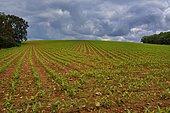 Corn field under a stormy sky, Béarn, Pyrénées Atlantiques, France