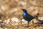 Cape Glossy Starling Lamprotornis nitens standing in waterhole in Kruger National park, South Africa