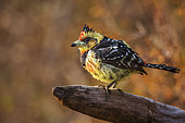 Crested Barbet (Trachyphonus vaillantii) standing on a log with fall colors background in Kruger National park, South Africa