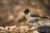 Dark capped Bulbul (Pycnonotus tricolor) standing on a log at waterhole in Kruger National park, South Africa