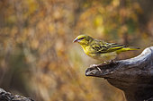 Village weaver (Ploceus cucullatus) standing on a log with fall colors background in Kruger National park, South Africa