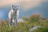 Arctic fox (alopex lagopus), young animal in Fjell, Dovrefjell National Park, Norway, Europe