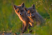 Young Red foxes (Vulpes vulpes), young animals are standing at the entrance of Bau, Bavaria, Germany, Europe