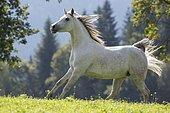Thoroughbred Arabian mare grey in summer on the meadow, Tyrol, Austria, Europe