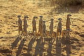 Meerkats (Suricata suricatta), adult, group standing upright at animal den, vigilant, backlight, Tswalu Game Reserve, Kalahari, North Cape, South Africa, Africa