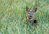 Roe deer (Capreolus capreolus) laying in the grass, England