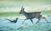 Roe deer (Capreolus capreolus) male walking in a frosty meadow at sunrise