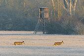 Western Roe Deers in front of Hunting Hide, Capreolus capreolus, Wintertime, Germany, Europe