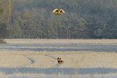 Busard Saint-Martin (Circus cyaneus) en vol et Renard roux (Vulpes vulpes) dans une prairie gelée en hiver, Allemagne