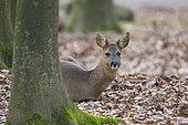 Western roe deer in wintertime, Capreolus capreolus, Female, Germany, Europe