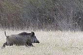 Wild boar, Sus scrofa, Germany, Europe