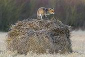 Red fox on hay ball, Vulpes vulpes, Winter, Germany, Europe