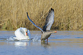 Mute Swan drives geylag goose away, Cygnus olor, Germany, Europe