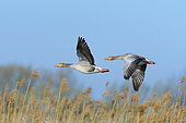 Greylag geese, Anser anser, Germany, Europe