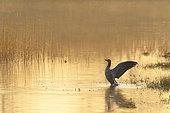 Greylag goose in pond at sunrise, Anser anser, Germany, Europe
