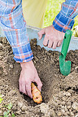 Planting of Tuberous Nasturtium (Tropaeolum tuberosum)