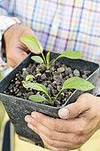 Sowing of Purple Coneflower (Echinacea purpurea) step by step. Sowing result after 6 weeks.