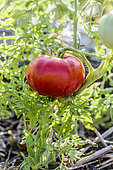 Fruit de la tomate 'Silver Fir Tree' ou tomate à feuille de carotte, à feuillage très découpé et à port déterminé.