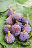 Freshly harvested 'Petite Grise' figs in August. Variety to be dried.