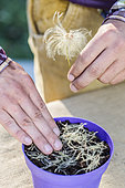 Sowing Clematis in pots step by step. 1: place the seeds
