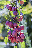 Ornamental purpleleaf crabapple with decorative fruiting (Malus x purpurea) 'eleyi', fruits on the tree
