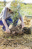 Change of mulch before winter at the foot of a young Eucalyptus tree: installation of a thermal mulch (Ferns fronds)