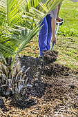 Installation of a watering basin at the foot of a recently planted Chilean Wine Palm (Jubaea chilensis) in summer.