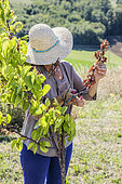 Woman cutting a branch of Apricot tree that has withered in summer.