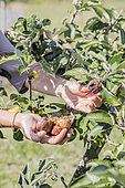 Woman removing heat-damaged apples from the tree in summer.