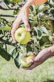 Apple Harvest 'White Reinette of Canada'.