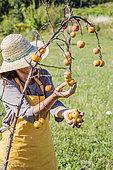 Winter Apple Harvest for Juice